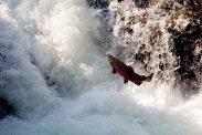 Cascades Coho - Sol duc river