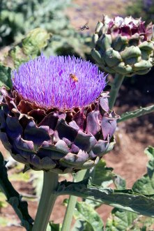 Flowering artichoke.
